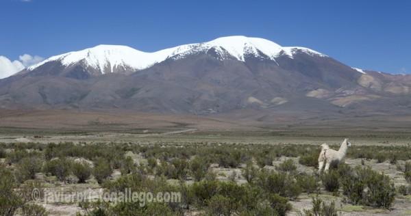 Llamas y nevados en la Puna salteña cerca de San Antonio de los Cobres. Provincia de Salta. Argentina © Javier Prieto Gallego