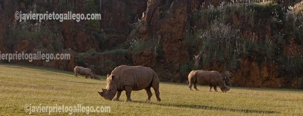 Rinocerontes. Parque de la Naturaleza de Cabárceno. Cantabria. España © Javier Prieto Gallego