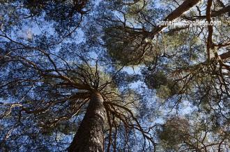 Interior del Pinar de Hoyocasero. Localidad de Hoyocasero. Sierra de Gredos. Ávila. Castilla y León. España. © Javier Prieto Gallego