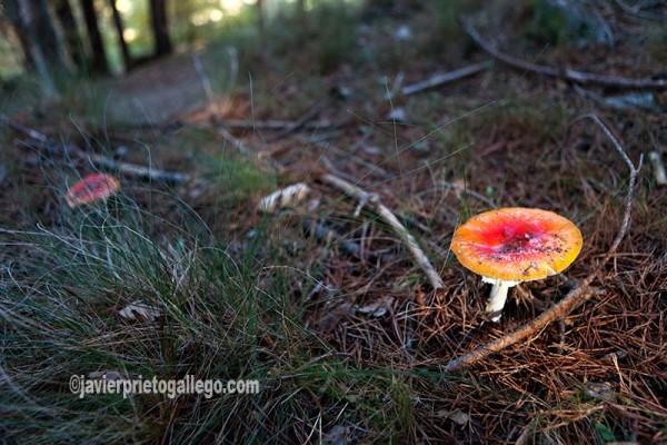 El suelo del pinar es rico en vida vegetal. Pinar de Hoyocasero. Localidad de Hoyocasero. Sierra de Gredos. Ávila. Castilla y León. España. © Javier Prieto Gallego