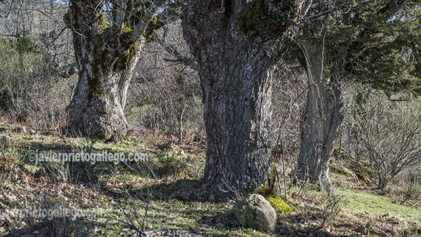 Troncos de sabinas y robles en el entorno del acebal de Prádena. Localidad de Prádena. Segovia. Castilla y León. España. ©Javier Prieto Gallego