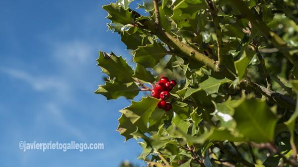 Un niño ante uno de los árboles que crecen en el acebal de Prádena. Localidad de Prádena. Segovia. Castilla y León. España. ©Javier Prieto Gallego