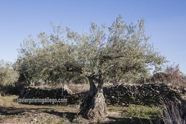 Olivos en el camino hacia el Pozo de los Humos. Río Uces. Parque Natural Arribes del Duero. Salamanca. Castilla y León. España. ©Javier Prieto Gallego