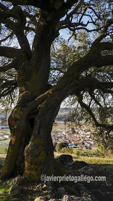 Cevico Navero desde la encina conocida como La Mata Redonda, a la que se le calculan unos 800 años de edad. Palencia. Castilla y León. España. © Javier Prieto Gallego