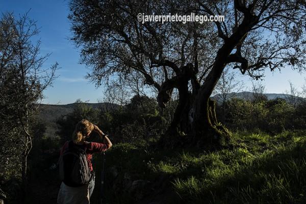 La silueta de un viejo olivo convertido en un dragón es una de las obras de Félix Curto en el Camino de los Prodigios. Sierra de Francia. Salamanca. España ©Javier Prieto Gallego