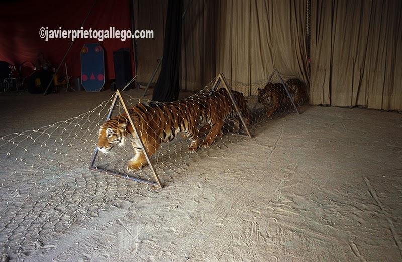 Los tigres hacia las jaulas, salen de la pista tras la actuación.  [Valladolid. Castilla y León. España.© Javier Prieto Gallego]