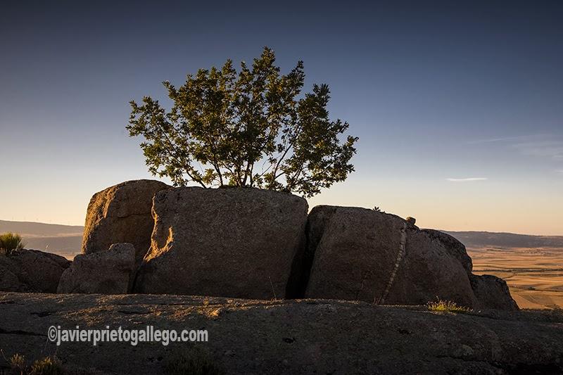 Un roble prospera entre dos lajas de granito talladas por la erosión en el castro celta de Ulaca. Ávila. Castilla y León. España © Javier Prieto Gallego