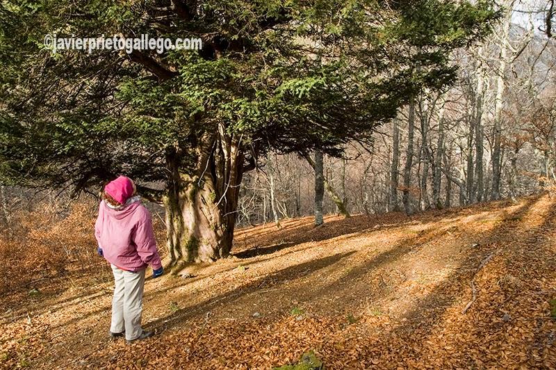 Tejos del valle de La Cervatina. Ruta de la Cervatina. Parque Regional de Picos de Europa. Puebla de Lillo. León. Castilla y León. España. © Javier Prieto Gallego
