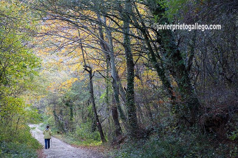 Una mujer camina a través del bosque en el valle de Mena cerca del Nacimiento el río Cadagua. Localidad de Cadagua. Valle de Mena. Merindades. Burgos. Castilla y León. España. © Javier Prieto Gallego;