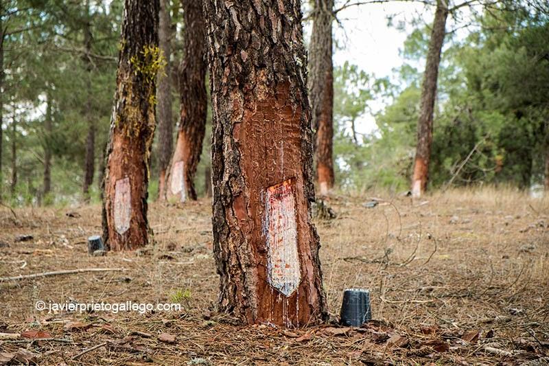 Explotación de resina en los pinares que rodean la laguna de Sotillos Bajeros. Espacio natural de las Lagunas de Cantalejo. Segovia. Castilla y León. España © Javier Prieto Gallego