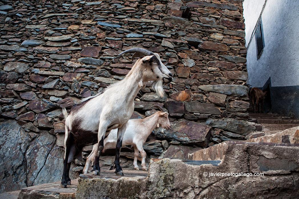 Cabras de regreso al corral. Localidad de El Gasco. Comarca de Las Hurdes. Cáceres. Extremadura. España. © Javier Prieto Gallego;