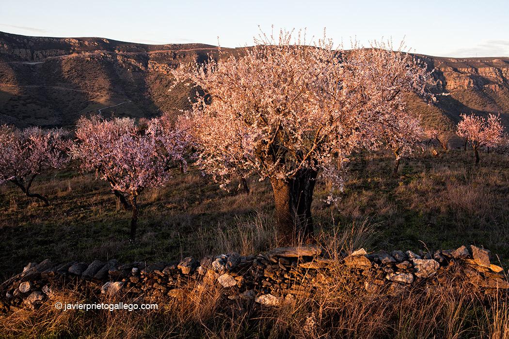 Almendros en flor cerca de La Fregeneda. Los Arribes salmantinos. Salamanca. Castilla y León. España © Javier Prieto Gallego