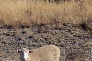 La experiencia de convertirse en pastor (Soria)