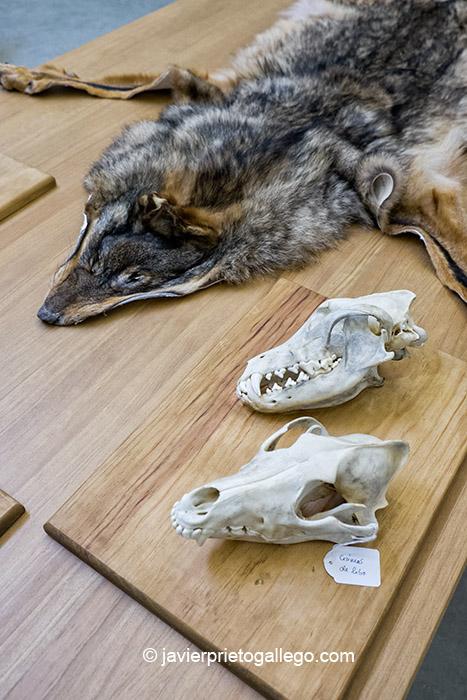 Piel y cráneos de lobo en la Sala de documentación. Centro del Lobo. Robledo. Comarca de Sanabria. Zamora. Castilla y León. España © Javier Prieto Gallego;