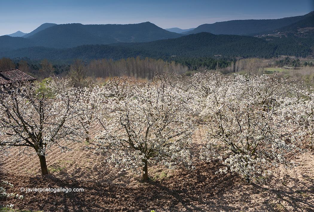 Cerezas en flor. Desde la localidad de Herrera. Valle de Las Caderechas. La Bureba. Burgos. Castilla y León. España. © Javier Prieto Gallego