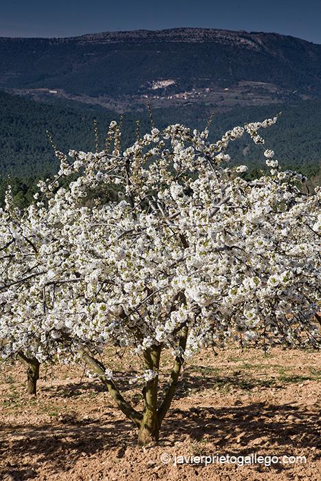 Cerezas en flor. Valle de Las Caderechas. La Bureba. Burgos. Castilla y León. España. © Javier Prieto Gallego