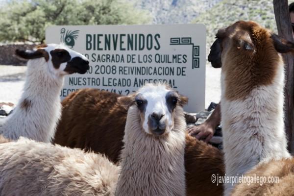 Llamas en las ruinas de Quilmes