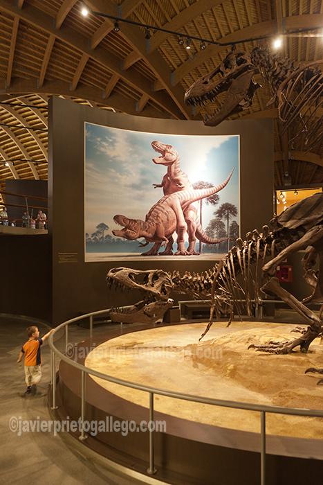 Reproducción de una pareja de Tyrannosaurus Rex en la sala del Cretácico del Museo del Jurásico de Asturias. Colunga. Asturias. España © Javier Prieto Gallego