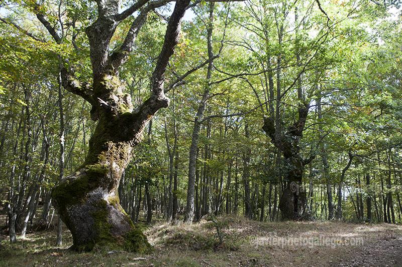 Robledal. Embalse de Ruesga. Parque Natural de Fuentes Carrionas. Montaña Palentina. Valle Estrecho. Palencia. Castilla y León. España. © Javier Prieto Gallego