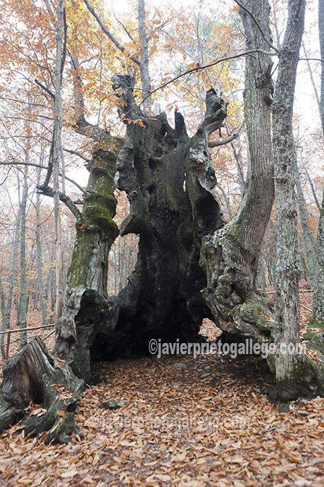 Árbol conocido como El Abuelo. Se le calcula entre 800 y 1.000 años. Es el quinto árbol más longevo de España y el más longevo de Castilla y León. Castañar de El Tiemblo. Ávila. Castilla y León. España. © Javier Prieto Gallego