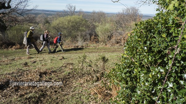 Caminantes recorriendo el acebal de Prádena. Localidad de Prádena. Segovia. Castilla y León. España. ©Javier Prieto Gallego