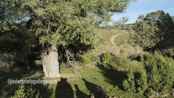 Una de las sabinas centenarias que prosperan junto al acebal de Prádena. Localidad de Prádena. Segovia. Castilla y León. España. ©Javier Prieto Gallego