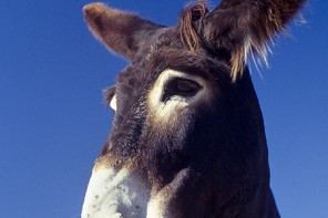 Ejemplar autóctono de burro zamorano-leonés en el Parque Natural Arribes del Duero. Comarca de Sayago. Arribes zamoranos. Zamora. España. © Javier Prieto Gallego