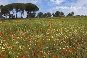 Pinares cercanos a la ermita de Sacedón. Tierra de Pinares. Valladolid. Castilla y León. España © Javier Prieto Gallego