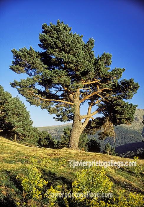 Ejemplar de pino silvestre en la Sierra de Guadarrama. Segovia. Castilla y León. España. © Javier Prieto Gallego