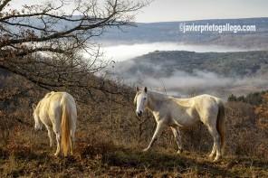 Caballos entre nieblas en el valle de Zamanzas. [Las Merindades. Parque Natural Hoces del Alto Ebro y el Rudrón. Burgos. Castilla y León. España. © Javier Prieto Gallego]