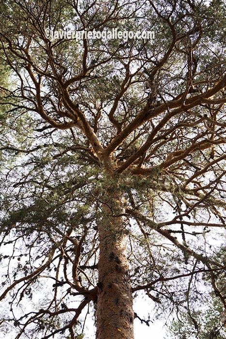 El pino silvestre forma espesas manchas en la Sierra de Guadarrama. Segovia. Castilla y León. España © Javier Prieto Gallego;