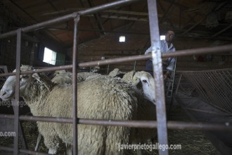 Un pastor de Mesegar de Corneja (Ávila) selecciona las ovejas que va a comenzar a esquilar él solo. [Mesegar de Corneja. Ávila. Castilla y León. España © Javier Prieto Gallego]