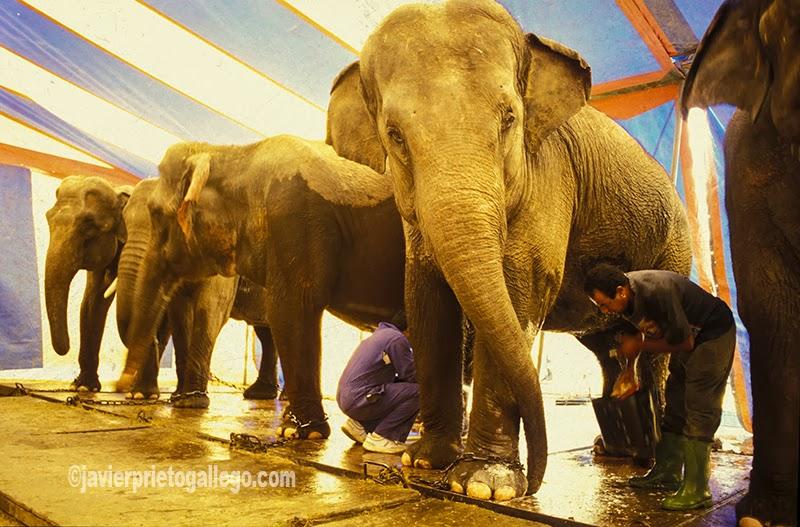 Taeras de limpieza de los elefantes del Gran Circo Mundial. [Valladolid. Castilla y León. España.© Javier Prieto Gallego]