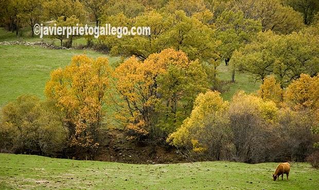 Ganado en un prado cercano al nacimiento del Adaja. Villatoro. Ávila. Castilla y León. España. © Javier Prieto Gallego