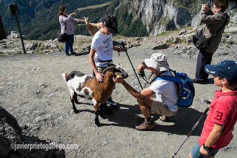 Las cabras se dejan fotografiar por los visitantes en la estación de El Cable, la estación superior del teleférico de Fuente Dé. Valle de Liébana. Cantabria. España. © Javier Prieto Gallego