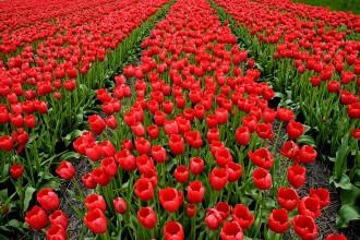 Campo de tulipanes en flor en la región de Noord Holland durante el mes de abril. Holanda es el primer exportador de flores del mundo. Holanda, 2005. © Javier Prieto Gallego;