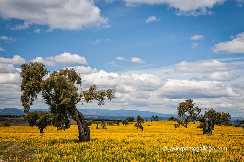 Dehesa. Camino de la Loma. Cedillo. Cáceres. Extremadura. España. © Javier Prieto Gallego;