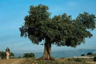 Encina y camino en la Sierra de Gredos cerca de Burgohondo. Ávila. Castilla y León. España, 2001 © Javier Prieto Gallego
