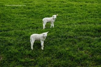 Ovejas en la región de Noord Holland, donde se encuentran algunos de los pólders más antiguos de Holanda, 2005 © Javier Prieto Gallego
