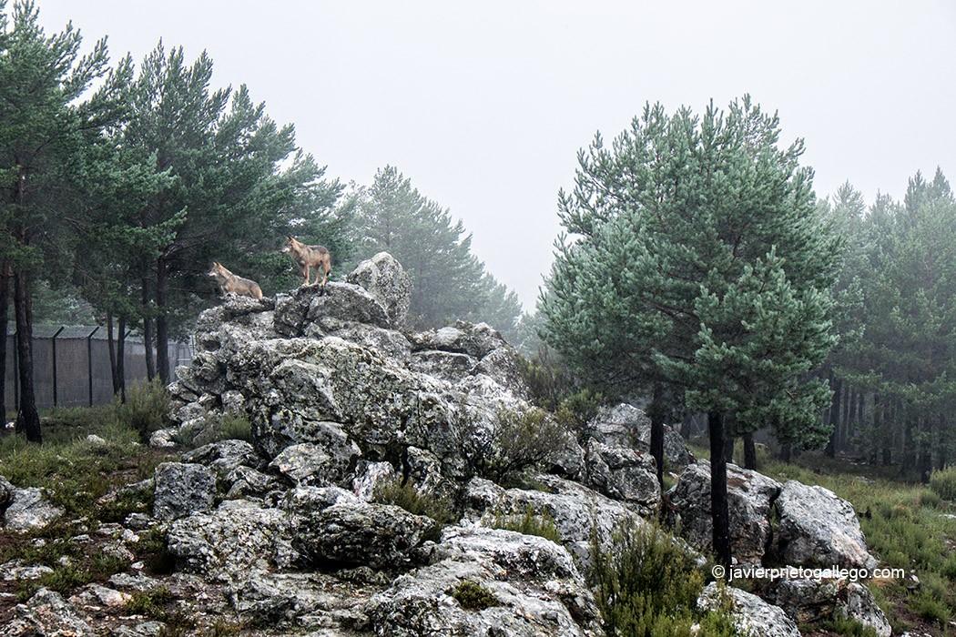 Centro del Lobo. Robledo. Comarca de Sanabria. Zamora. Castilla y León. España © Javier Prieto Gallego;
