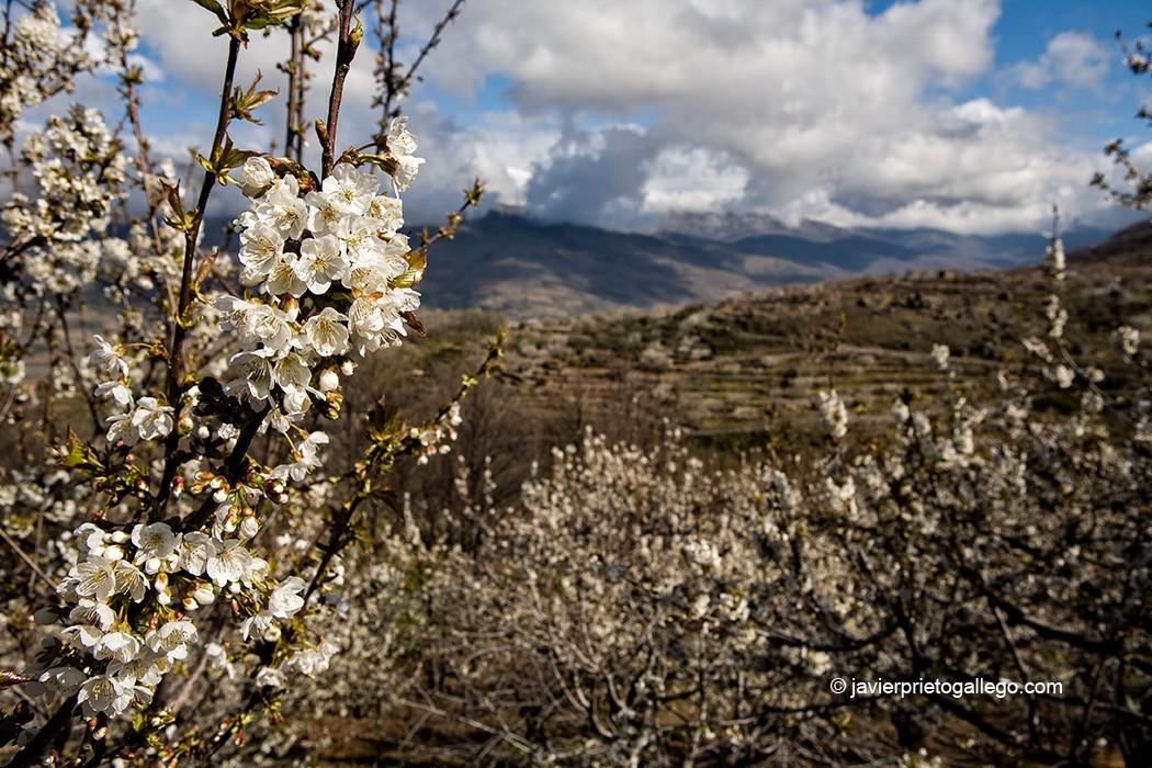 Cerezos en flor. Valle del Jerte. Extremadura. España © Javier Prieto Gallego;