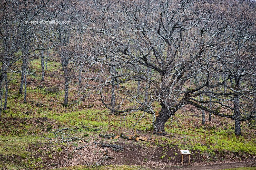 Árbol Singular de La Solana. Roble de unos 300 años de edad. Localidad de Barrado. Valle del Jerte. Fiesta del Cerezo. Extremadura. España © Javier Prieto Gallego;