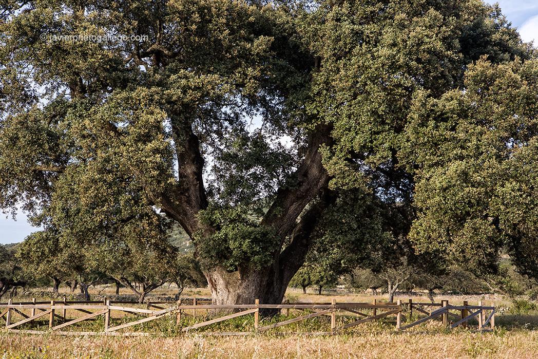 Árbol Monumental: Encina Terrona. Edad estimada en 800 años. Localidad de Zarza de Montánchez. Comarca de Montánchez. Cáceres. Extremadura. España © Javier Prieto Gallego;