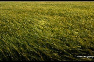 Campo de cereal. Comarca de Los Llanos de Olivenza. Badajoz. Extremadura. España. © Javier Prieto Gallego;