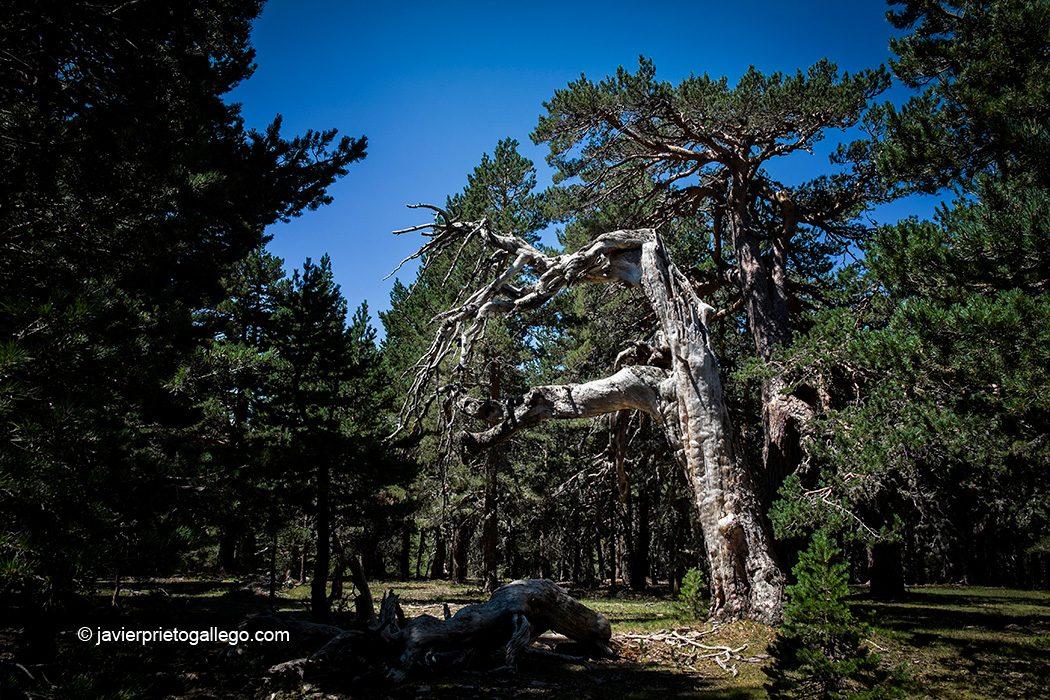 Árboles notables en la Senda de los Abuelos del Bosque. Parque Natural Laguna Negra y Circos Glaciares de Urbión. Sierra de Urbión. Soria. Castilla y León. España. © Javier Prieto Gallego;