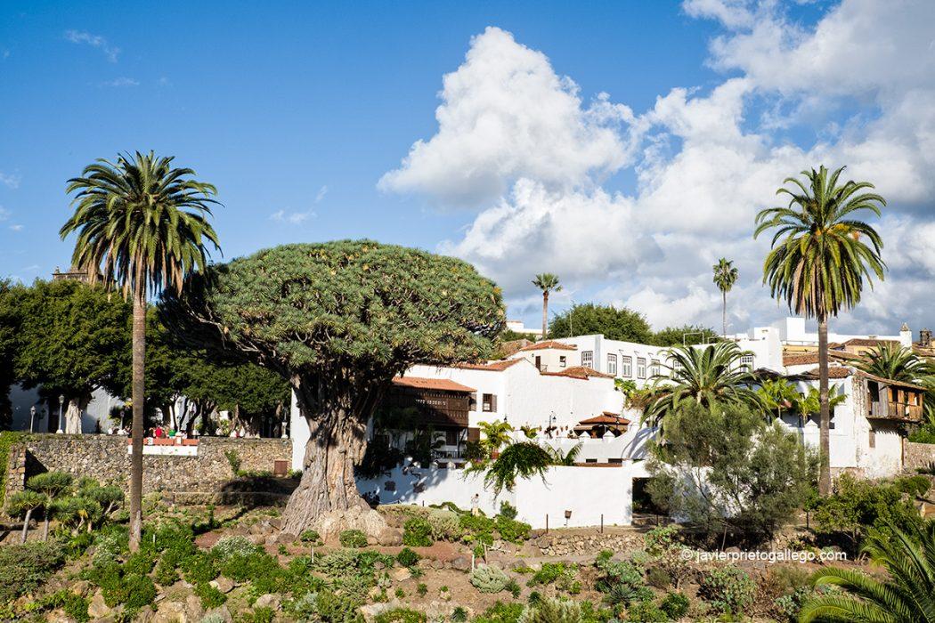 Drago Milenario. Parque del Drago Milenario. Icod de los Vinos.Tenerife. Islas Canarias. España © Javier Prieto Gallego