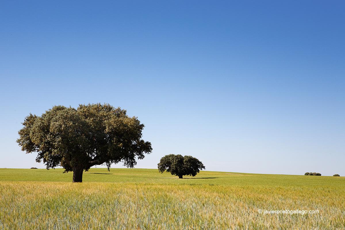 Encinas y cereal en el Campo Charro. Salamanca. Castilla y León. España © Javier Prieto Gallego