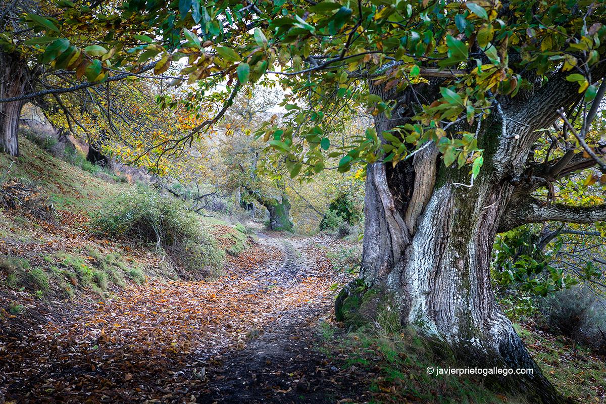 Castaños monumentales en otoño. Ruta de los castaños. Localidad de Hermisende. Zamora. Castilla y León. España. © Javier Prieto Gallego