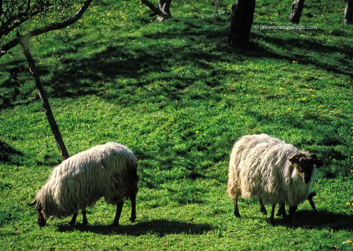 Ovejas latxas. Valle de Baztán. Navarra. España © Javier Prieto Gallego;
